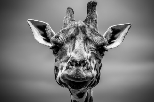 Giraffes: Up Close & Personal